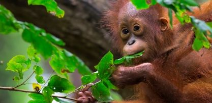 Meet Orangutans in Sepilok