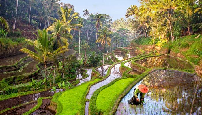 Rice field Indonesia