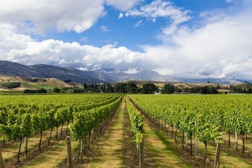 Cromwell Vineyard, NZ