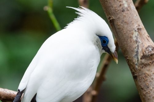 White Bali Myna