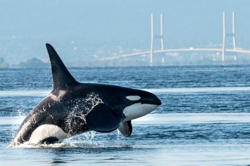 Orca, ,Canada