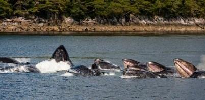 Humpback Whales, Canada
