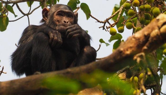 Best Time to Visit Uganda - Chimpanzee