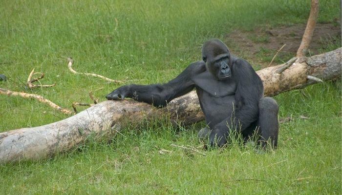 Best Time to Visit Uganda - Gorilla