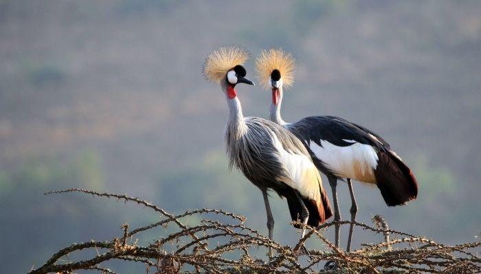 Best Time to Visit Uganda - National Bird