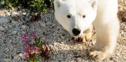 See Polar Bears in Churchill