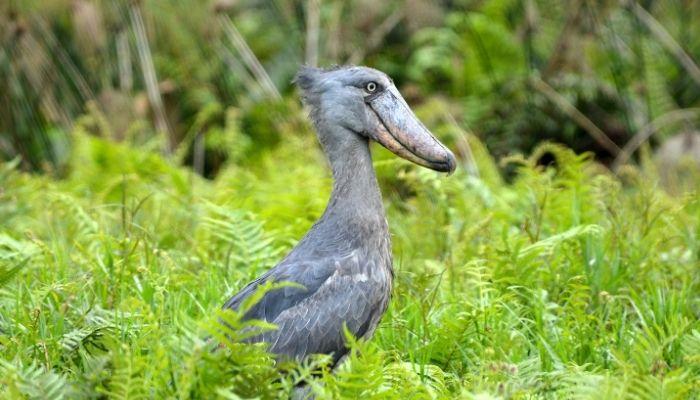 Best Time to Visit Uganda - Shoebill