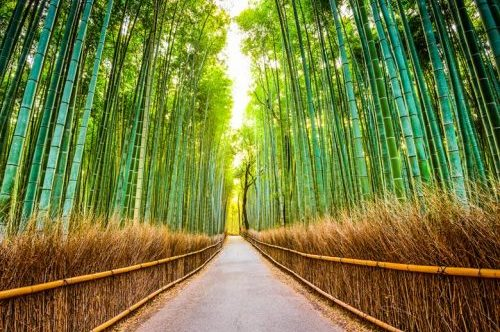 Bamboo Forest of Kyoto