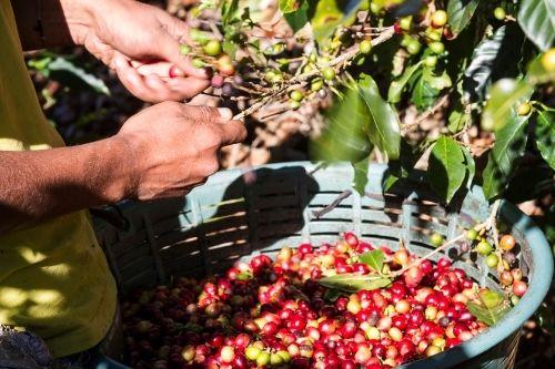 Coffee Plantation Costa Rica