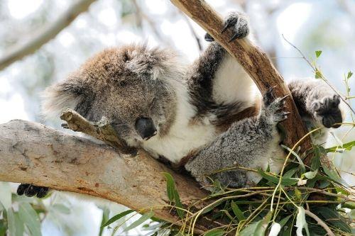 Koala, Phillip Island, Australia