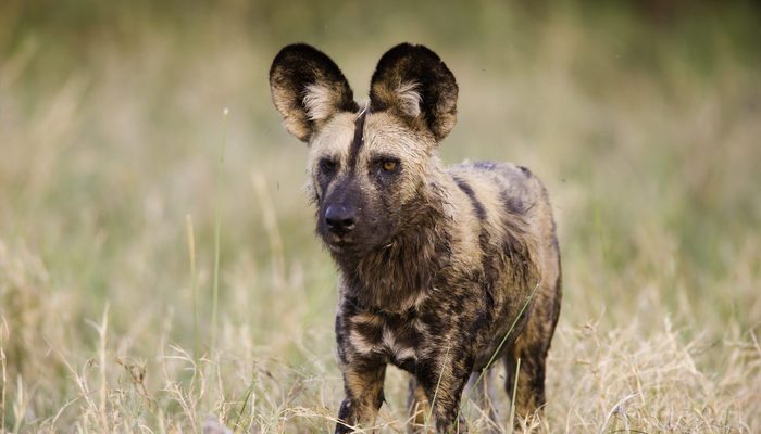 African Wild dog in Botswana