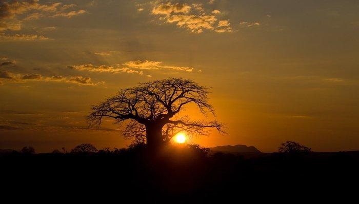 Sunset behind baobab tree Ruaha National park Tanzania.