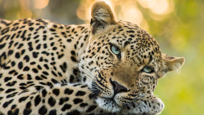Leopard in Sabi Sands