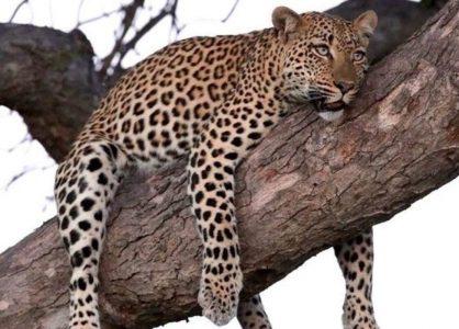 Leopard - Credit Baobab Ridge