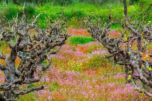 Greece vineyard