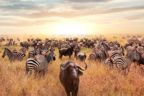 Zebra & Buffalo EA
