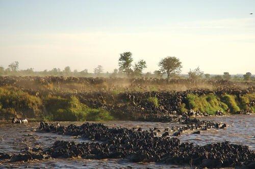 Sayari Camp - wildebeest herds