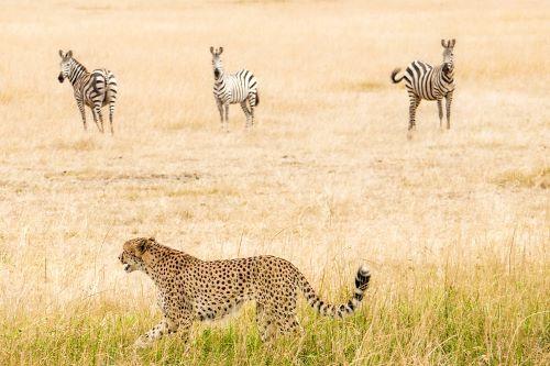 Cheetah Zebra