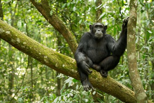 Chimp Kibale