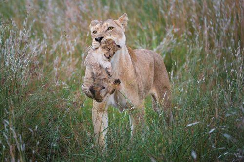 Linyanti Lion Wilderness Safaris