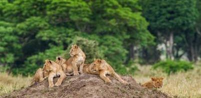 Lions 402 x 201