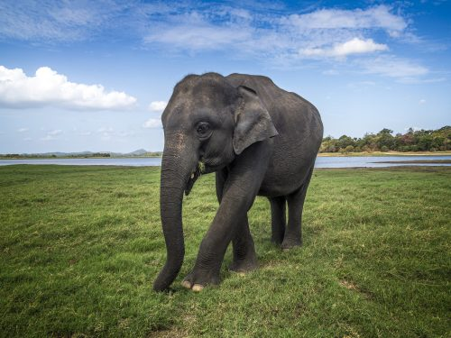 Elephant in Minneriya, Sri Lanka