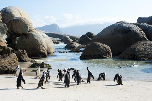 Boulder's Beach Penguins Cape Town