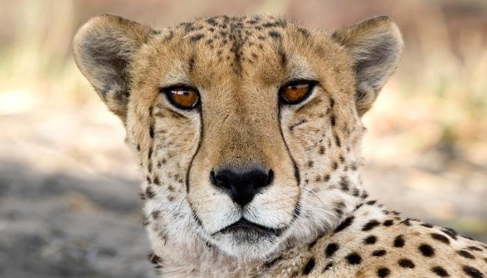 Cheetah in Vumbra
