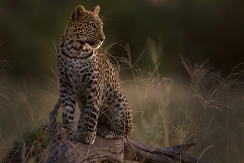 Leopard - Letaka Safaris