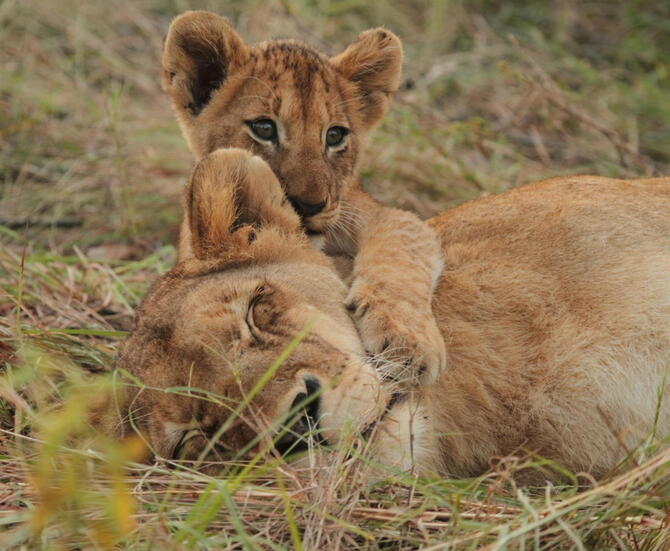 Lions - credit Savanna Lodge