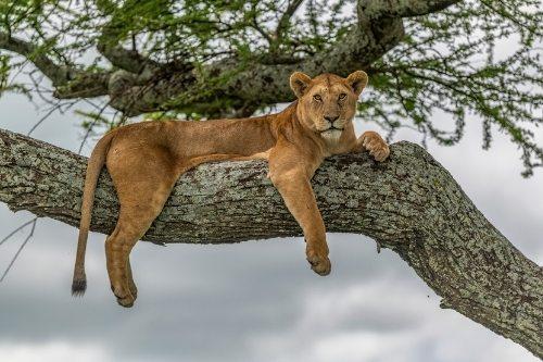 Lions, Lake Manayra