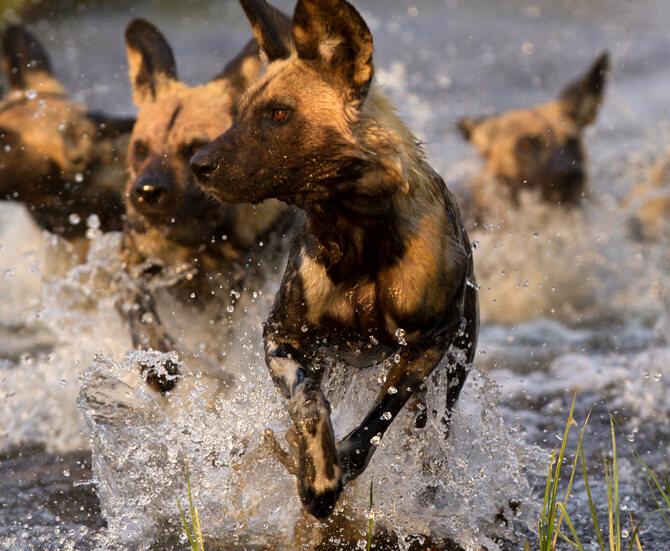 Wild Dog - Letaka Safaris