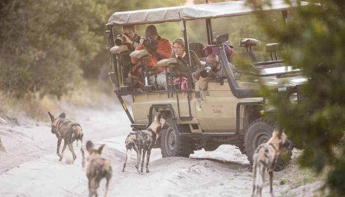 Wild dogs on a game drive, Botswana