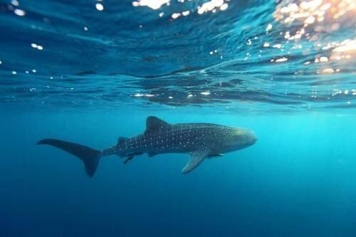 Shark, Mafia Island
