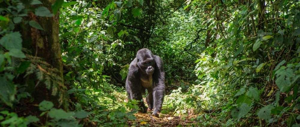 Bwindi Forest, Uganda