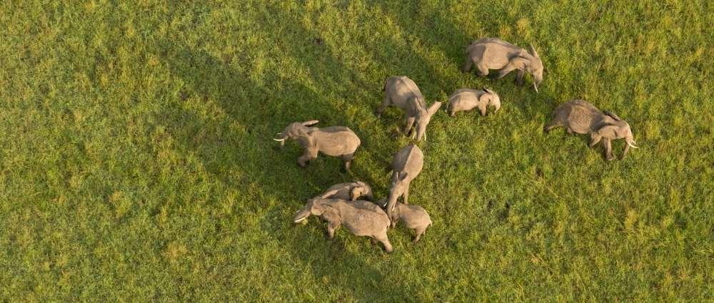 Herd of elephants, Masai Mara