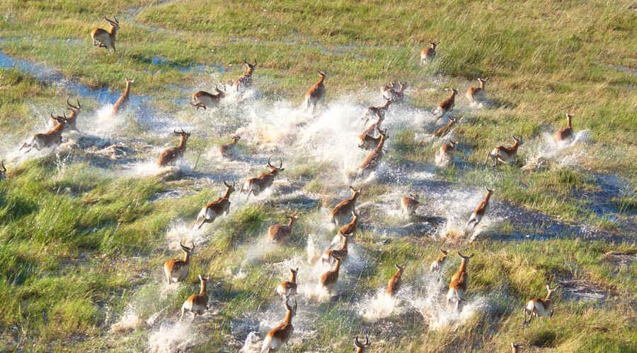 Herd of impala