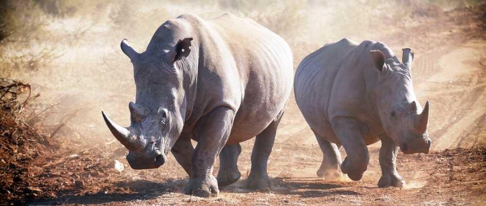 Rhinos in Souh Africa