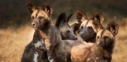 Wild dog, Tanzania