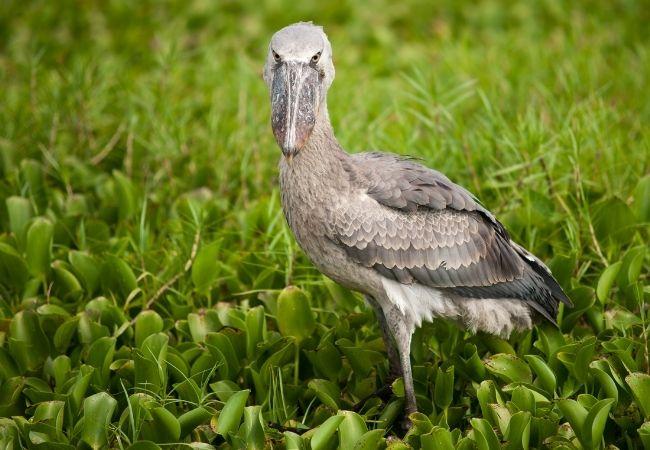 Shoebill birds Uganda