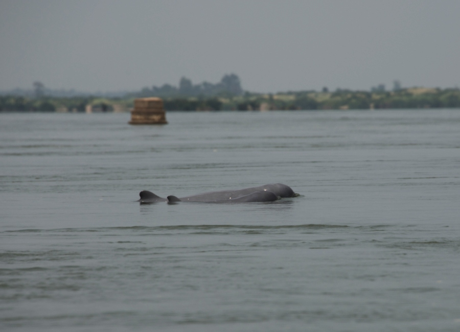 Irrawaddy Dolphin seen near Kratie, Cambodia