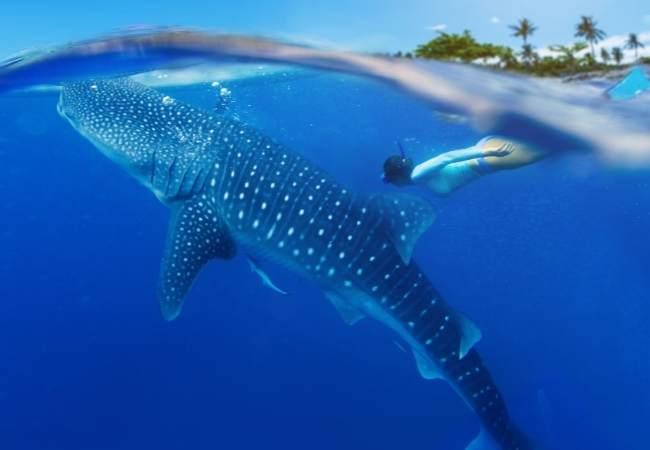 Maldives whale sharks