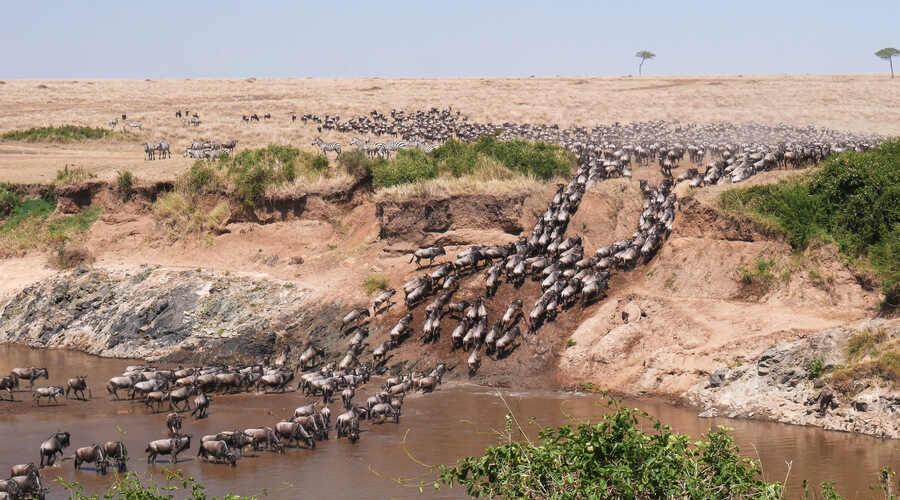 Migration Wildebeest