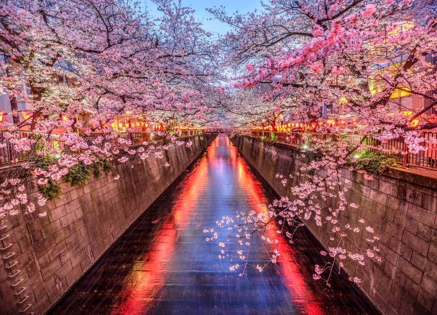 Cherry blossom spray over Tokyo's Meguro river