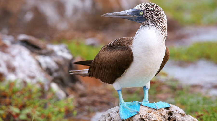 Blue-footed Booby on North Seymour Island, Galapagos