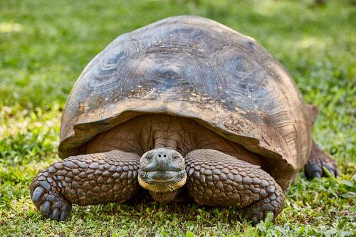 giant turtle santa cruz island Galapagos