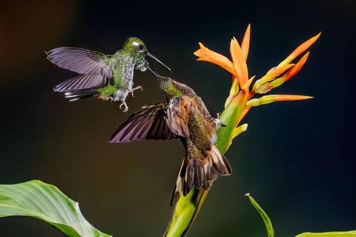 Hummingbird - credit Mashpi Lodge
