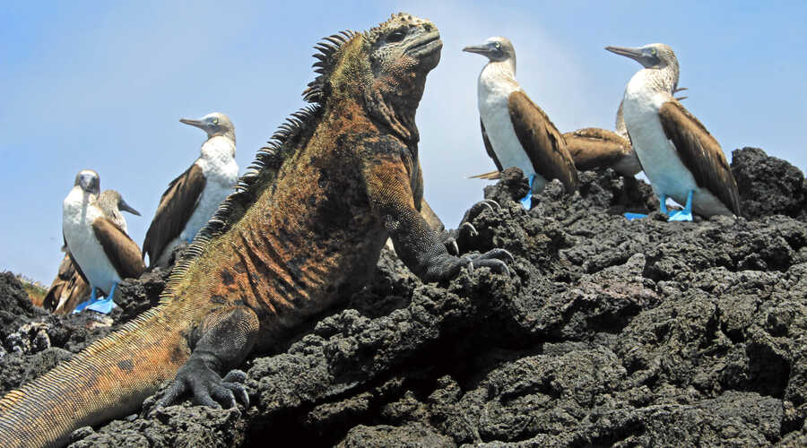 Marine iguana Isabela Island Galapagos