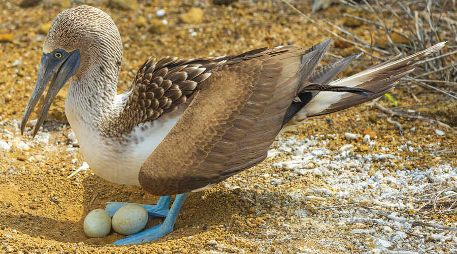Blue Footed Booby Nesting, Galapagos