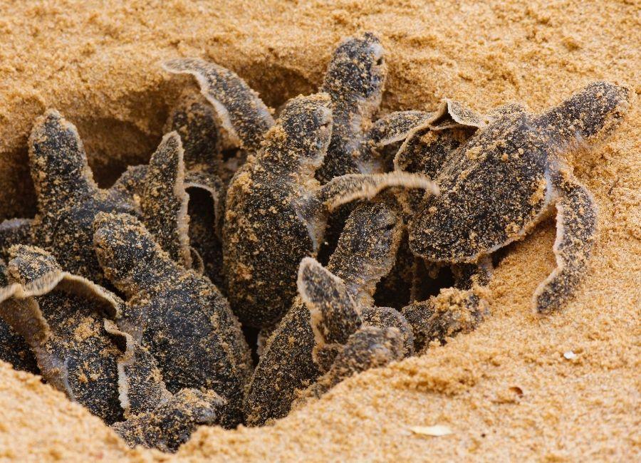 Sri Lanka, Turtle Hatcheries